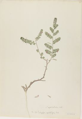 Indigofera aspalathifolia Roxb., watercolour on paper