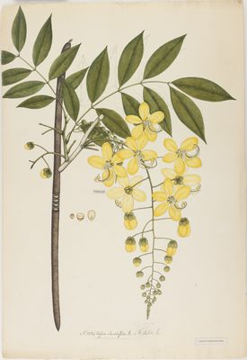 Cassia rhombifolia R., watercolour on paper