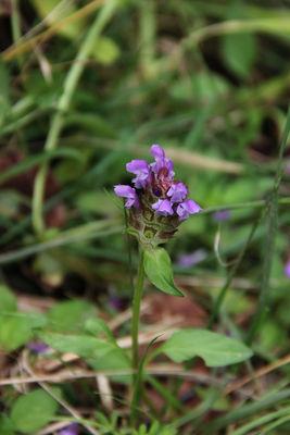Prunella vulgaris subsp. lanceolata