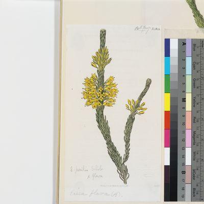 Erica flava, illustration from Curtis's Botanical Magazine, published as Erica flava (ß) imbricata