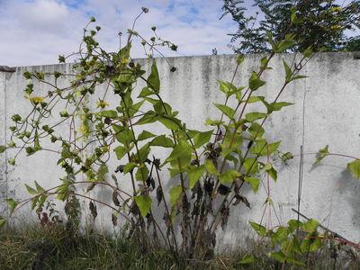 Silphium perfoliatum