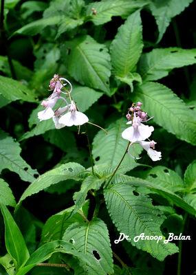 Impatiens maculata