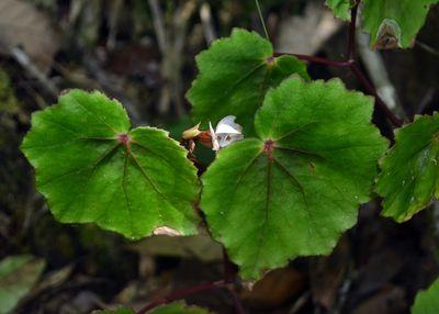 Begonia torajana
