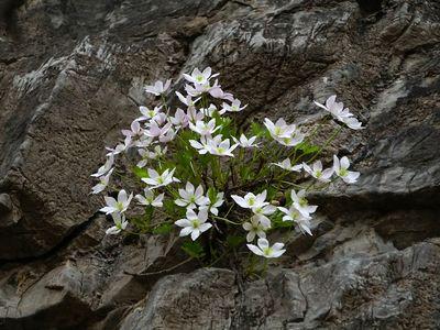 Clematis acerifolia