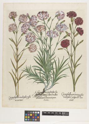 Carnations, Besler