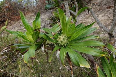 Pandanus pervilleanus