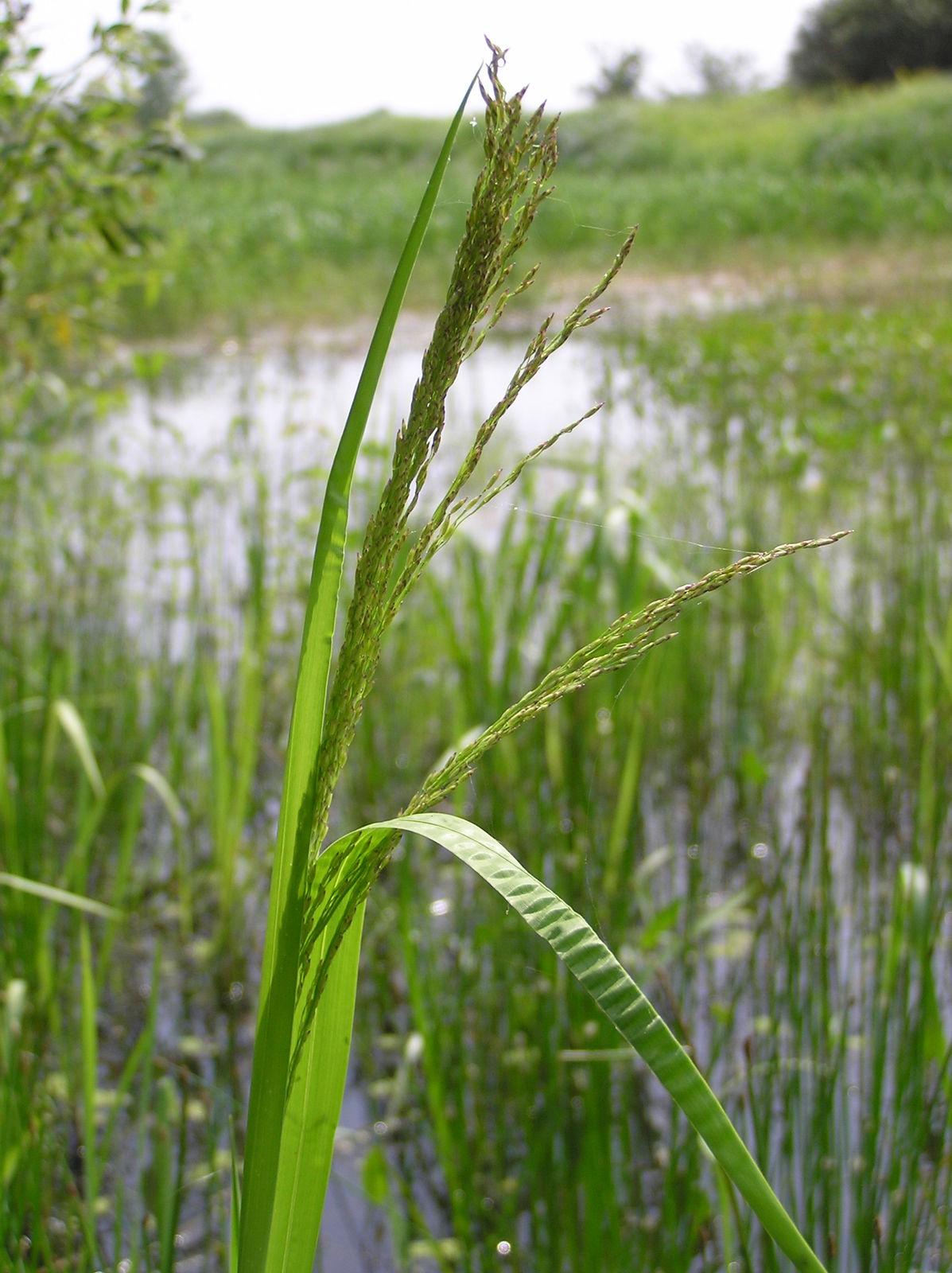 Glyceria maxima (Hartm.) Holmb. | Plants of the World Online | Kew Science