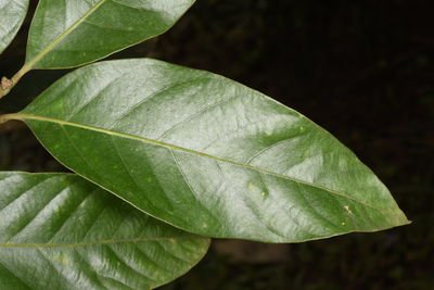 Lithocarpus dealbatus