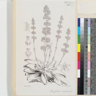 Crassula rosularis Harv. published illustration from Curtis's Botanical Magazine