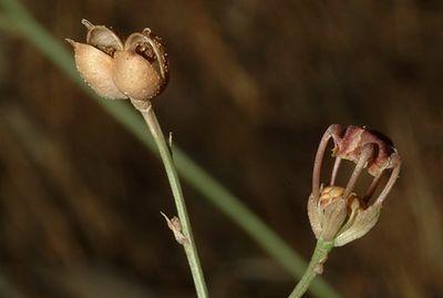 Nigella unguicularis