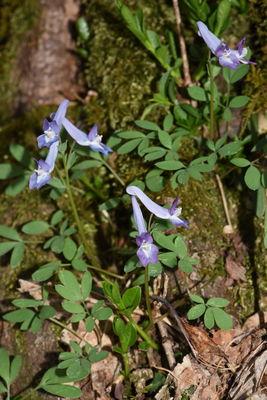 Corydalis ambigua