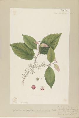 Flacourtia inermis Roxb., watercolour on paper