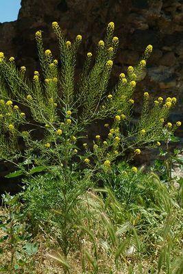 Sisymbrium loeselii