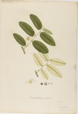 Briedelia crenulata Roxb., watercolour on paper