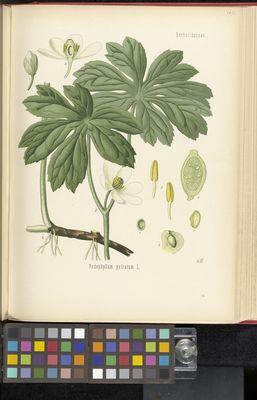 Podophyllum peltatum, Köhler