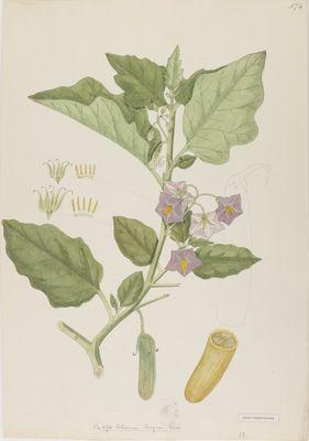 Solanum longum R., watercolour on paper