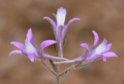 Delphinium pygmaeum