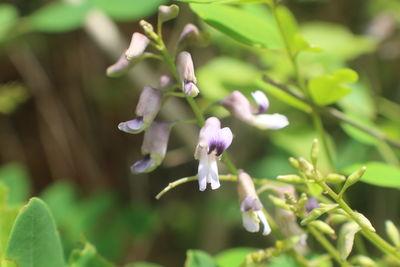 Sophora violacea