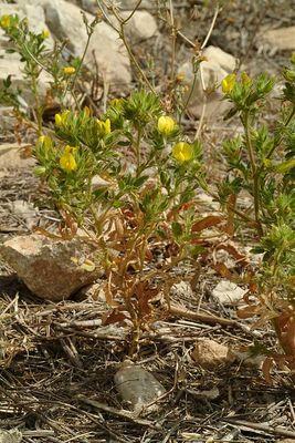 Ononis pubescens