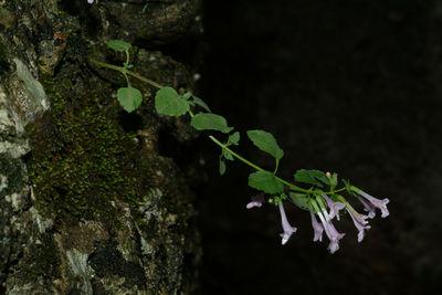 Clinopodium menthifolium