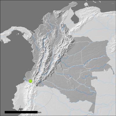 Fittonia albivenis (Lindl. ex Veitch) Brummitt