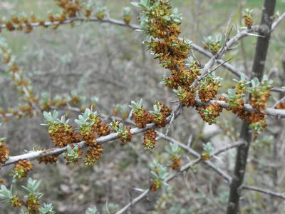 Elaeagnus rhamnoides