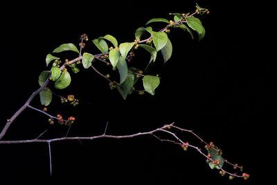 Xylosma panamensis