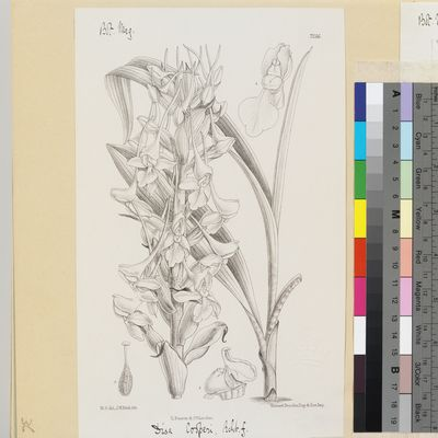 Disa cooperi Reichb.f. published illustration from Curtis's Botanical Magazine