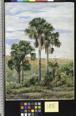 105. Buriti Palms with old Araucaria trees on the distant