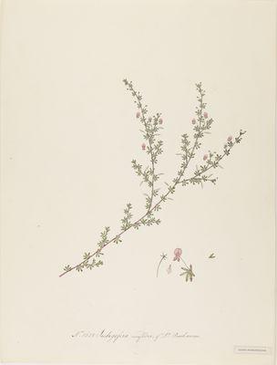 Indigofera uniflora of Dr. Buchanan, watercolour on paper
