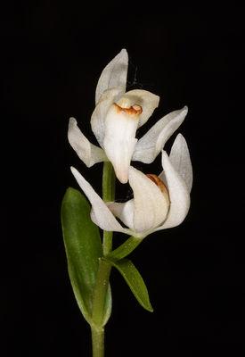 Cephalanthera subaphylla
