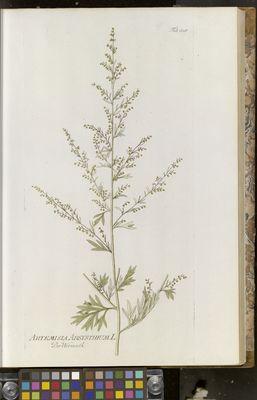 Artemisia absynthium (wormwood), Plenck