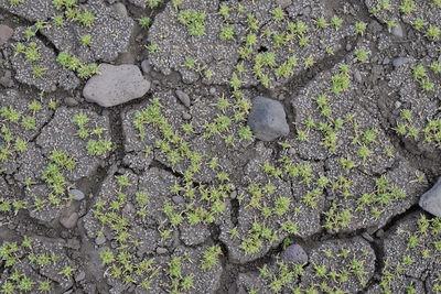 Scleranthus uncinatus