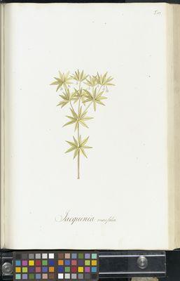 Jacquinia ruscifolia