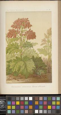 Rhubarbe officinale, Rheum officinale, Plantes Medicinales