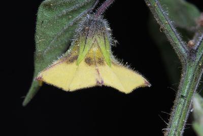 Physalis peruviana