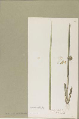 Scirpus subarticulatus R., watercolour on paper