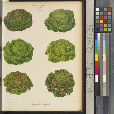 Varieties of lettuces, Ernst Benary