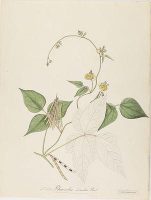 Phaseolus calcaratus Roxb., watercolour on paper