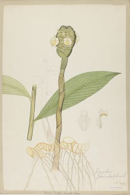 Zingiber zerumbet Roscoe, watercolour on paper