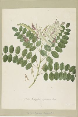 Indigofera atropurpurea Buch., watercolour on paper