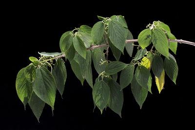 Lozanella enantiophylla