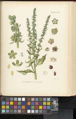 Beta vulgaris, Köhler