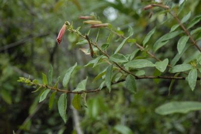 Cuphea sp.