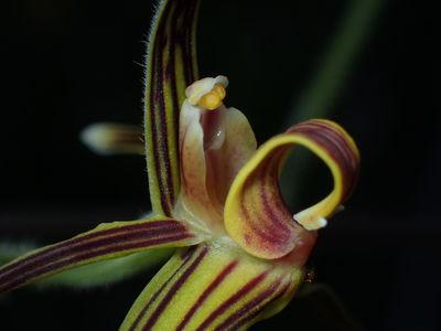 Eriodes barbata (Lindl.) Rolfe