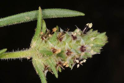 Plantago phaeostoma