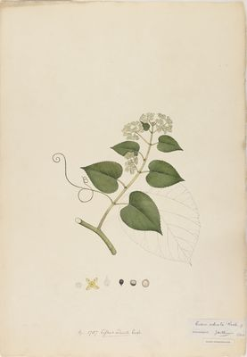 Cissus adnata R., watercolour on paper