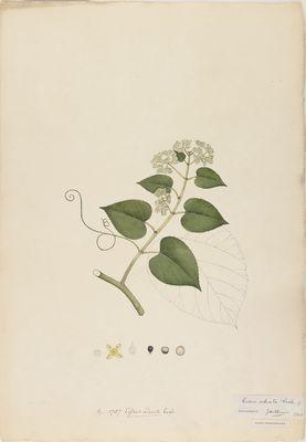 Cissus adnata R., watercolour on paper