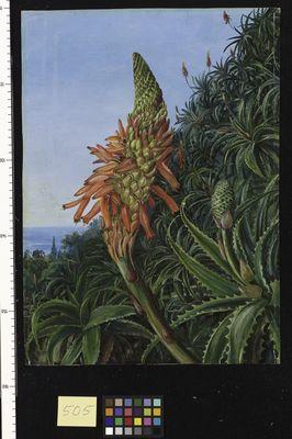 Common Aloe in Flower, Teneriffe
