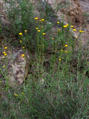 Cancrinia maximowiczii
